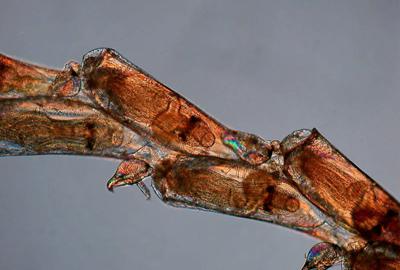 Bugula biota